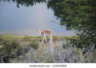 Fawn of fallow deer (Dama dama) looking towards the camers standing at the waterside; National Park Amsterdamse Waterleidingduinen