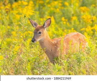 A fawn in a field of goldenrod