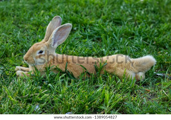 Fawn Flemish Giant Bunny Laying Around Stock Photo Edit Now