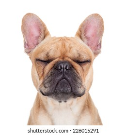 fawn french bulldog with closed eyes sitting and resting on white isolated background