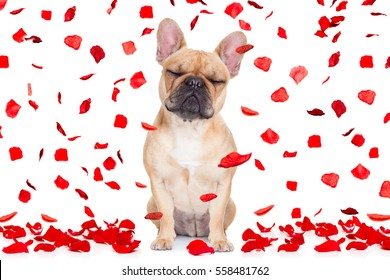fawn french bulldog with closed eyes sitting and resting on white isolated background on valentines day in love , full of red rose petals