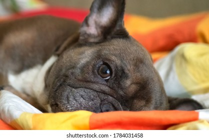 A fawn French Bulldog lies on a bed in bedding. Close-up. Portrait.