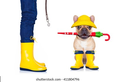 3c5ec1102be fawn french bulldog sitting to go for a walk with owner with leash and  rubber boots