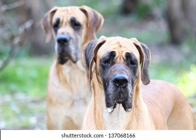 Fawn Great Dane Dog Breed