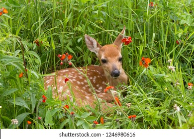 Fawn laying in a bed of orange wildflowers