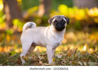 Fawn littel pug