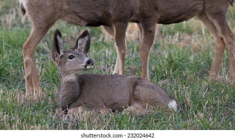 Fawn mule deer lying down