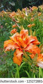 "Fawn orange double daylilies with copper red markings. Tawny, diploid daylilies, with fully double to triple orange ruffled flowers. Hemerocallis fulva ""Kwanso""."