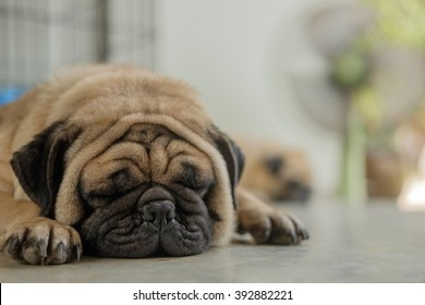 Fawn pug dog lying on concrete floor in front green fan in very hot day.