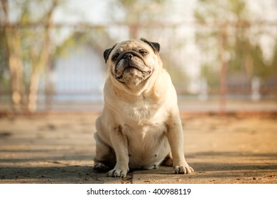 Fawn pug dog sitting on concrete road to guard the gate.(In morning with hard shadow.)
