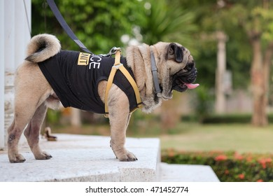 Fawn pug dog wearing police k-9 unit costume on marble floor.