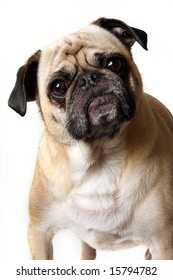 Fawn Pug looking confused.