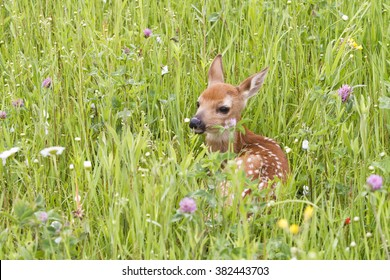 Fawn Resting in a Bed of Wildflowers