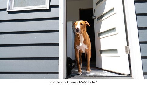 Fawn Short Haired Mixed Breed Dog Standing by Back Door Looking Outside