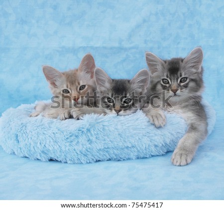 3062961c0de Fawn silver and blue silver somali kitten siblings relax in a blue bed.  Liverpool
