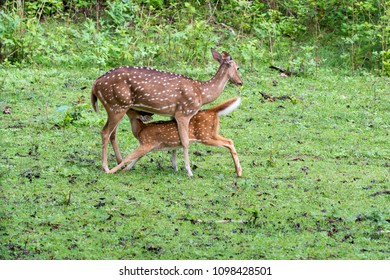 A fawn suckling milk on a monsoon day inside nagarhole tiger reserve during a wildlife safari