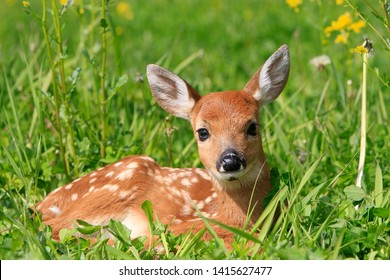 fawn Virginia deer in forest of Quebec