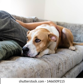 Fawn and White Colored Dog Relaxing with His Human