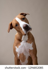 Fawn and White Pit Bull Labrador Retriever Mix Dog on Light Background