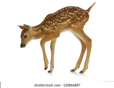 fawn - white-tail fawn isolated on white background