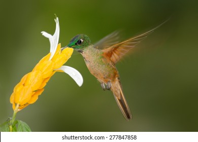 Fawn Breasted Brilliant Heliodoxa Rubinoides Sucking Sweet Nectar From White And Yellow Flower