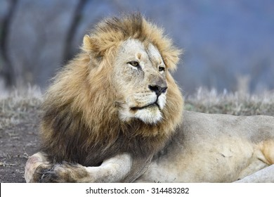 Fawning Lion