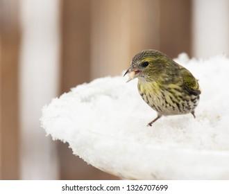 Feale eurasian siskin bird sitting on bird feeder with food in the beak