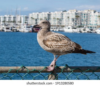 Fearless brown Western Gull standing on a fence at a California marina