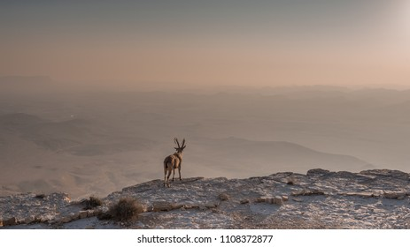 A fearless ibex overlooks the Ramon Crater (Makhtesh Ramon) below from the northern high cliff edge shortly after sunrise, Ramon Nature reserve, Mitzpe Ramon town, Negev desert, Beersheba, Israel