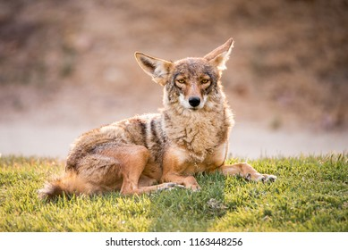 A fearless wild coyote lays in the grass at a park in Los Angeles, Southern California, near sunset. Coyote is relaxed, calm, laying in the grass and looking at the camera.