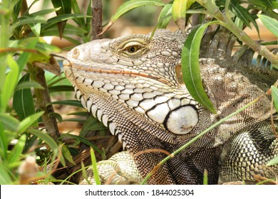 A fearsome looking iguana peeks out of the underbrush on the tropical island of Aruba.