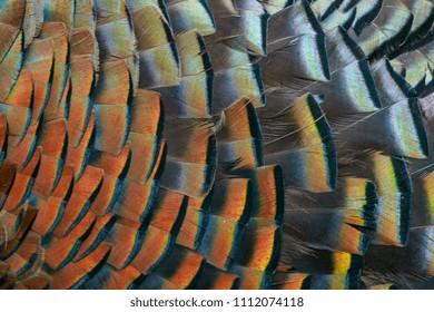 Feather Art Wild Turkey