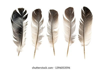 Feather of a bird on a white background.