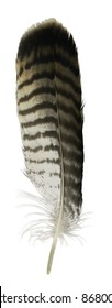 feather from a bird of prey in white back