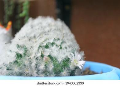 Feather cactus (Mammillaria plumosa) cactae