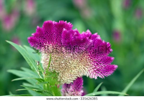 Feather Cockscomb's purple flowers(Celosia argentea)