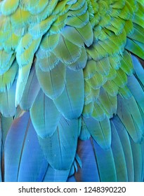 Feather detail of Macaw have Multicolor Blue and Green.Texture of beautiful feather Macaw bird close up line detail and color used for  decorate background  to make your work stand out.