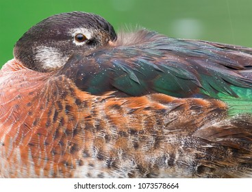 Feather dress of mallard
