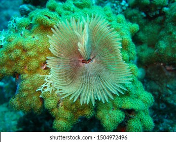 A feather duster worm on a reef in the Red Sea