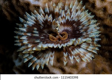 A feather duster worm, Sabellastarte sp., grows on a coral reef in Alor, Indonesia. This remote region, within the Coral Triangle, is home to an extraordinary array of marine biodiversity.