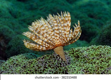 Feather Duster Worm (Sabellastarte sp.) on a coral reef