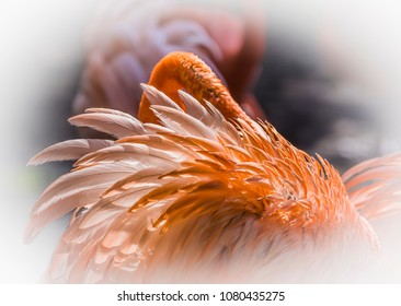 Feather of a flamingo bird. Close Up Detail of a Cuban  Flamingo Feathers