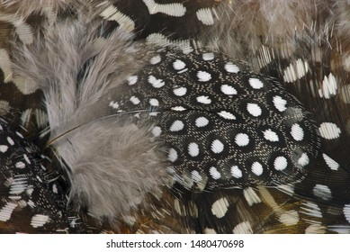 feather and fowl of spotted guinea fowl, black and white, close-up, macro