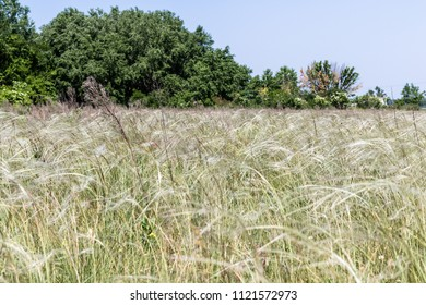 Feather grass (stipa pennata) in a meadow