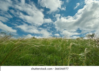 Feather grass, wind and white clouds in the blue sky