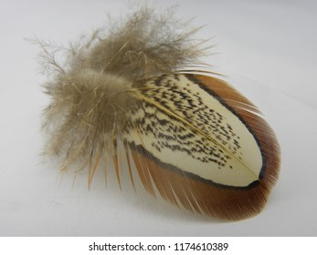 Feather: an isolated single feather from a hen pheasant