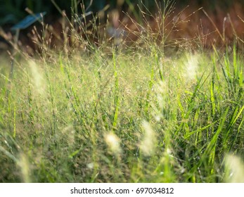 Feather Pennisetum or Mission grass blossom in green garden.