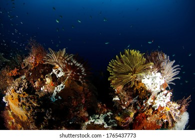 Feather Stars on Coral Reef in Raja Ampat. West Papua, Indonesia