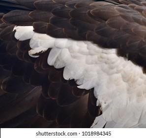 Feather White-tailed eagle.blckground