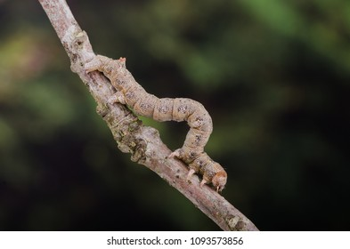 Feathered Thorn (Colotois pennaria) moth caterpillar on a twig.